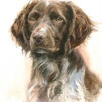 'Small Münsterländer'-Dunya, 20x30 cm, watercolor (sold/commission)