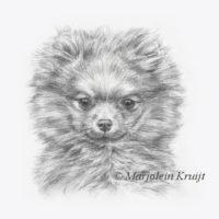 'Pomeranian puppy', 17x17 cm, pencil portrait, incl. frame 27x27 cm (for sale)