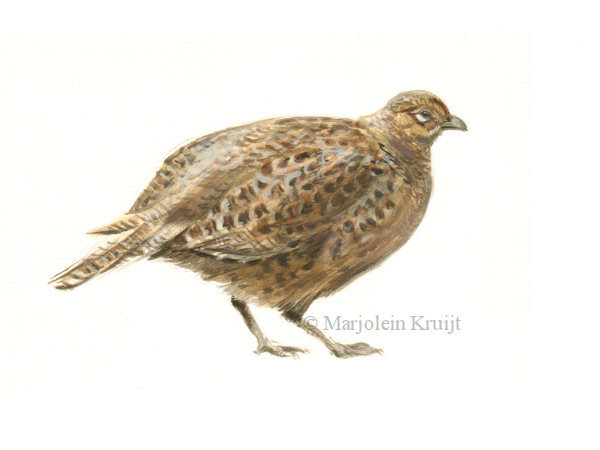'Pheasant-female', acrylics 18x12 cm, Marjolein Kruijt €110