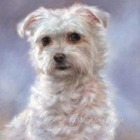 'Maltezer'-beauty, oil painting 30x24 cm (sold/commission)