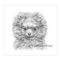 'Pomeranian pup', 17x17 cm, pencil drawing (for sale)