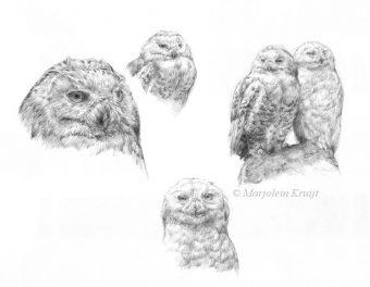 'Sneeuwuilen', 40x50 cm, potlood tekening (te koop)
