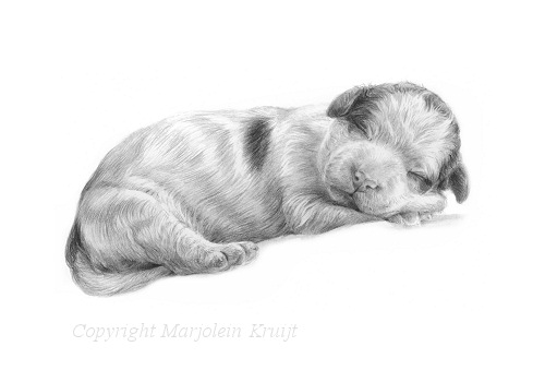 'Lagotto Romagnolo puppy', 20x15 cm, pencil portrait (for sale)