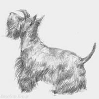 'Scottish terrier', pencil portrait (for sale)