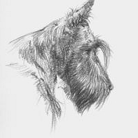 'Sketch Scottish terrier', pencil portrait (for sale)