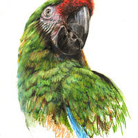 'Green macaw', 20x30 cm, W&N watercolor markers (for sale)