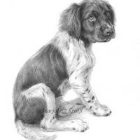 'Small Münsterländer puppy', 20x30 cm, pencil portrait (sold/commission)