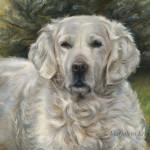 'Golden retriever', 60x50 cm, oil painting (sold/commission)