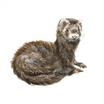 ferret illustration by Marjolein Kruijt