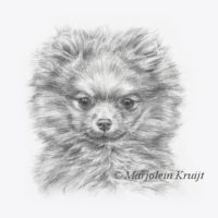 'Pomeranian puppy', 17x17 cm, pencil portrait, incl. frame 27x27 cm (for sale)