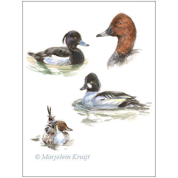 Duck art - Tufted duck/Common pochard/Northern pintail/Common goldeneye