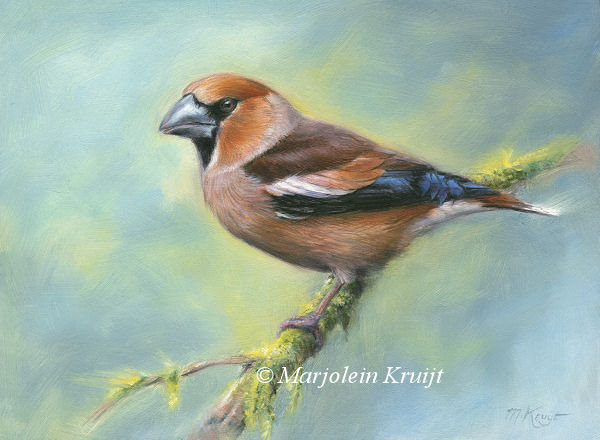 'Hawfinch', 18x24 cm, oil painting (sold/ commission)