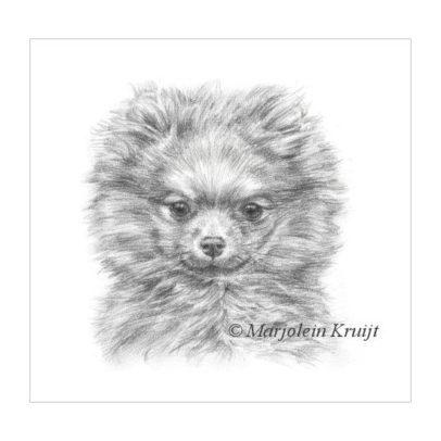 'Dwergkeeshondje pup', 17x17 cm, potlood tekening (te koop)
