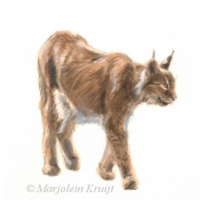 'Lynx', illustratie