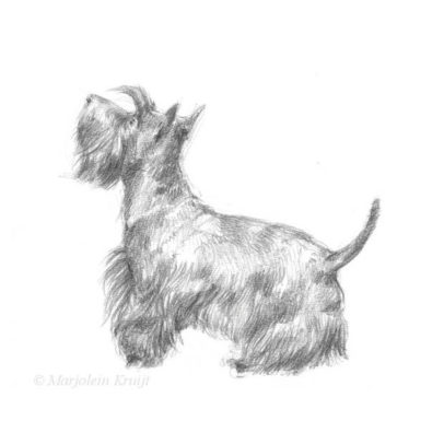 'Scottish terrier', 13x18 cm, pencil drawing (for sale)