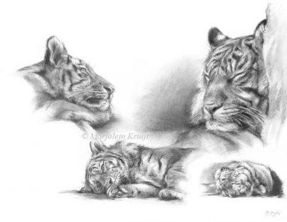 'Tijgers', 50x60 cm, houtskool tekening (te koop)