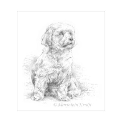 'Malthezer hondje', potlood tekening (te koop)
