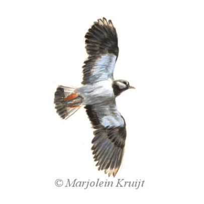 Lapwing (for sale)
