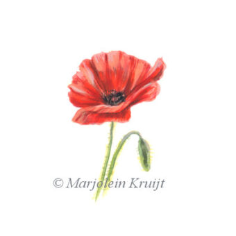 'Poppy, flower illustration (for sale)