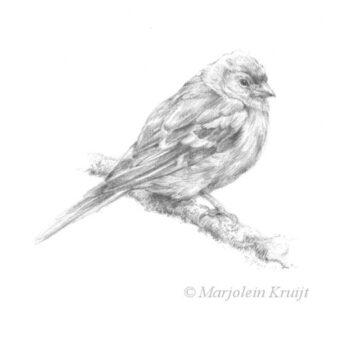 'Vink', vogel tekening (te koop)